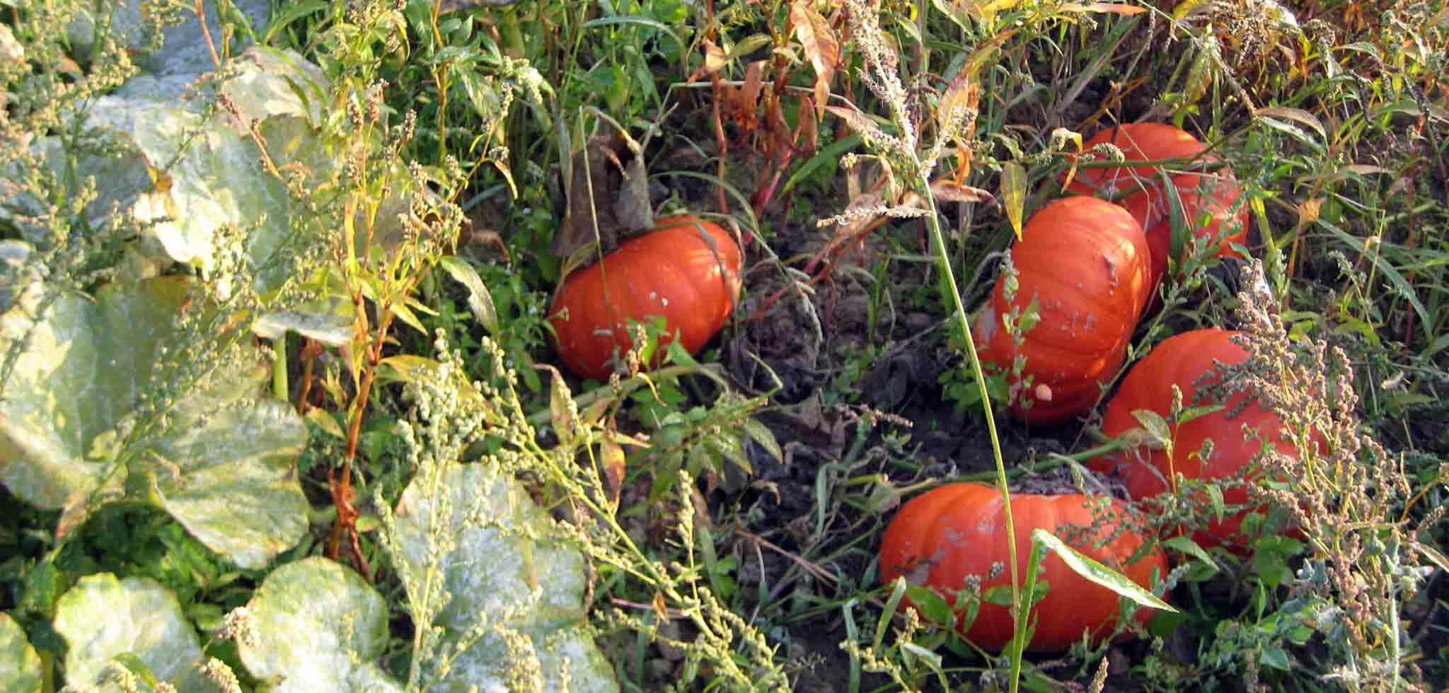 legumes-bio-maraicher-yvelines-78