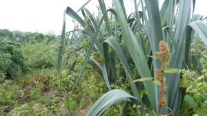 Poireaux agriculture biologique, maraicher bio - 78 Saint Rémy L'Honoré