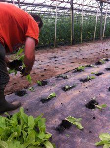 plantation bette chez Sarl Renard, maraîcher bio, 78