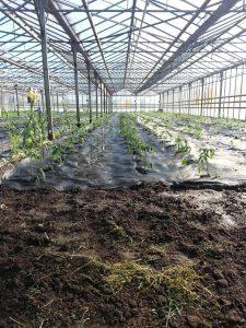 arrosage après plantation, chez SARL Renard, maraîcher bio 78
