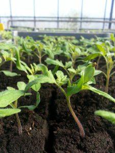 plants tomates 3 semaines après repiquage, chez SARL Renard, maraîcher bio, 78