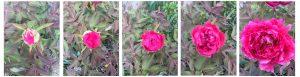 floraison pivoine chez SARL Renard, maraîcher bio, 78