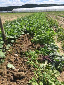 plant de choux, SARL Renard, légumes bio, 78