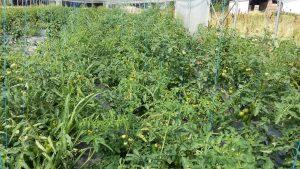 tomate avant taille chez SARL Renard, maraîcher bio, 78