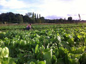 laure aux épinards chez SARL Renard, maraîcher bio, 78
