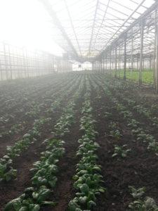 épinards de printemps chez SARL Renard, producteurs de légumes bio, 78