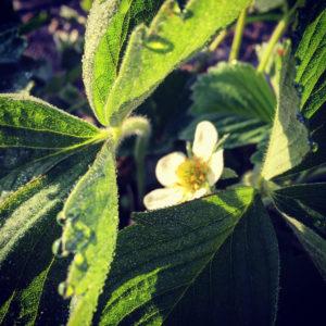 fleur de fraisier chez sarl renard, légumes bio, 78690