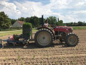 plantation céleri rave chez SARL Renard, producteur légumes bio, 78