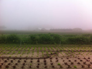 brouillard après forte pluie chez SARL Renard, yvelines, maraîcher bio
