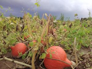 potimarron sous ciel orageux chez SARL Renard, producteur de légumes bio, yvelines