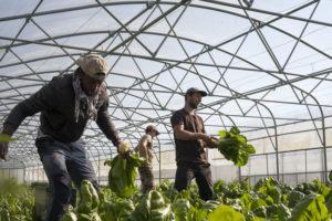 botte de bettes chez SARL Renard, producteur de légumes bio, ile de france 78