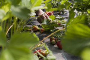 cueillir les fraises chez SARL renard, producteur de légumes bio yvelines 78