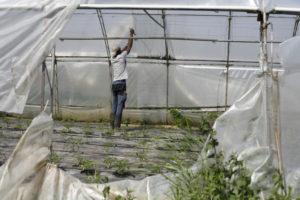 attacher les tomates chez SARL Renard maraîcher bio yvelines 78