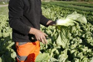 pain de sucre chez SARL Renard, légumes bio, ile de france 78