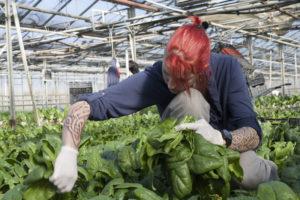 Laure aux épinards, SARL renard, producteur de légumes bio, 78