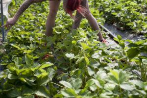 Laure aux fraises chez SARL Renard, maraîcher bio, ile de france