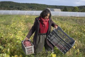 Céline dans les écossés chez SARL Renard, producteur de légumes bio, 78
