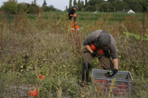 cueille courge chez SARL Renard, producteur de légumes bio, 78