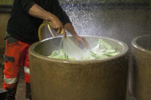 nettoyage des fenouils, chez SARL Renard, producteurs de légumes bio, 78