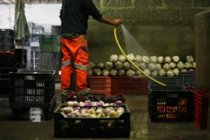 nettoyage céleri chez SARL Renard, producteur de légumes bio en ile de france, 78