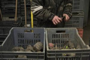 triage radis noir chez SARL Renard, cultivateur de légumes bio, 78