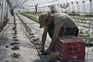 olivier attachant les tomates chez SARL Renard, producteur de légumes bio 78