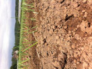 plants de poireaux chez SARL Renard, maraicher bio, yvelines