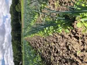 poireaux à désherber chez SARL Renard, producteur de légumes bio 78