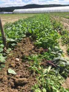plants de choux chez SARL Renard, maraîcher bio Yvelines